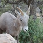 This bighorn sheep bounded onto the Bright Angel Head Trail and nearly came close enough for me to pet him. How could someone be scared of him?