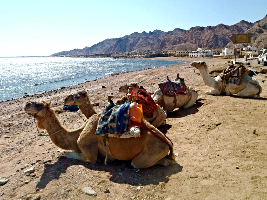 Camels rest at the Red Sea. Egypt is a popular place in the world to scuba dive.